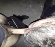 Real home made cock sucking video